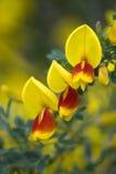 Wildflowers dell'Oregon Immagini Stock Libere da Diritti