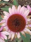 Wildflowers della lavanda fotografie stock libere da diritti