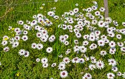 Wildflowers della margherita bianca con i centri porpora Immagini Stock
