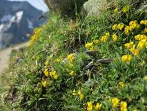 Wildflowers della montagna fotografie stock