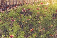 Wildflowers della spiaggia sull'isola di Hatteras Immagini Stock