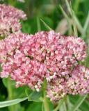 Wildflowers dello Iowa Fotografia Stock Libera da Diritti