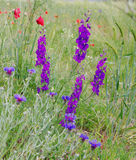 Wildflowers delphinium  in spring steppe Royalty Free Stock Image