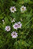 Wildflowers dentellare Fiori rosa del trifoglio Fiori rosa in prato Trifolium hybridum pallido - fiori rosa Immagine Stock Libera da Diritti