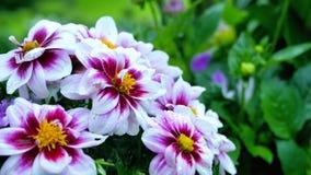 Wildflowers des trois couleurs, blancs, roses et jaunes banque de vidéos