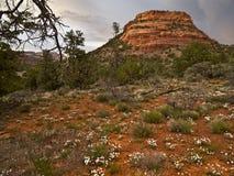 Wildflowers, deserto nordico dell'Arizona Immagine Stock Libera da Diritti