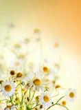 Wildflowers di estate: camomilla Fotografia Stock Libera da Diritti