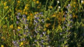 Wildflowers di fioritura di estate al tramonto nelle montagne video d archivio