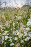 Wildflowers di fioritura nell'alta erba Fotografia Stock