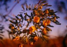 Wildflowers di Pilbara Fotografia Stock Libera da Diritti