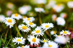 Wildflowers di primavera del gruppo del primo piano delle margherite bianche immagini stock libere da diritti