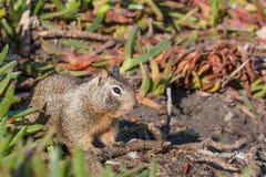Wildflowers di rosicchiamento a terra dello scoiattolo di California (beecheyi di Otospermophilus) Immagine Stock Libera da Diritti