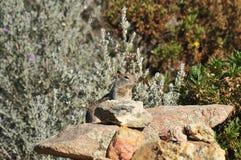 Wildflowers di rosicchiamento a terra dello scoiattolo di California (beecheyi di Otospermophilus) Fotografia Stock