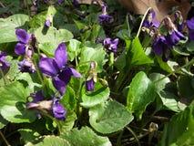 Wildflowers, die auf Berg Sulaiman-Too in Osh-Stadt wachsen Stockbilder