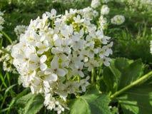 Wildflowers, die auf Berg Sulaiman-Too in Osh-Stadt wachsen Stockfotografie