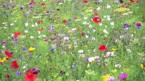 Wildflowers, die in den Wind beeinflussen stock footage