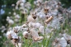Wildflowers do fluff foto de stock royalty free