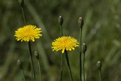 Wildflowers dorati di Krigia del dente di leone della patata Immagini Stock