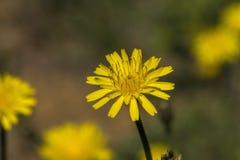 Wildflowers dorati di Krigia del dente di leone della patata Immagine Stock Libera da Diritti
