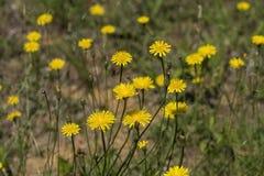 Wildflowers dorati di Krigia del dente di leone della patata Fotografia Stock
