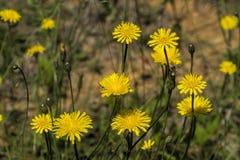 Wildflowers dorati di Krigia del dente di leone della patata Fotografia Stock Libera da Diritti