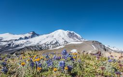 Wildflowers in Dry Field in front of Burroughs Mountain. And Mount Rainier Royalty Free Stock Photography