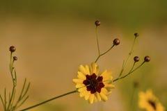 Wildflowers e germogli dorati di tinctoria di Coreopsis Immagini Stock