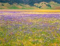 Wildflowers e montagne del prato Fotografie Stock