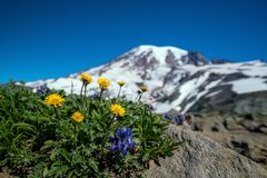 Wildflowers e o Monte Rainier bonitos, estado de Washington fotos de stock