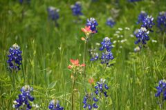 Wildflowers in East Texas. This was taken in East Texas, while driving around looking for nice images Royalty Free Stock Photography
