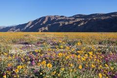 Wildflowers em Anza Borrego Imagem de Stock Royalty Free