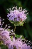 Wildflowers em Missouri fotografia de stock
