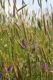 Wildflowers em um campo Foto de Stock Royalty Free