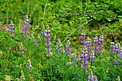 Wildflowers em Washington Imagens de Stock Royalty Free