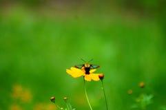 Wildflowers en la brisa con la abeja de la polilla del pájaro del tarareo Foto de archivo