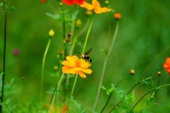 Wildflowers en la brisa con la abeja de la polilla del pájaro del tarareo Fotografía de archivo libre de regalías