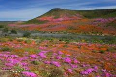 Wildflowers en la floración, Namaqualand, Suráfrica. foto de archivo libre de regalías