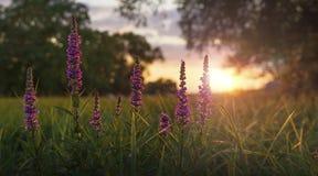 Wildflowers en la puesta del sol Imagen de archivo libre de regalías