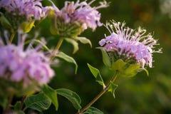 Wildflowers en Missouri Fotos de archivo libres de regalías