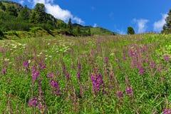 Wildflowers en un prado alpino en las montañas austríacas, alto camino alpino de Zillertal, Austria, el Tirol fotografía de archivo