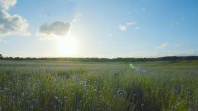 Wildflowers en zon, pan stock video