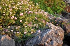 Wildflowers entre as rochas Imagem de Stock