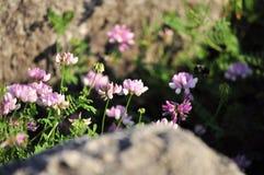 Wildflowers entre as rochas Fotografia de Stock Royalty Free
