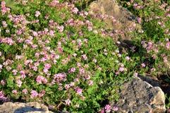 Wildflowers entre as rochas Foto de Stock Royalty Free