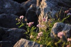 Wildflowers entre les roches Images libres de droits