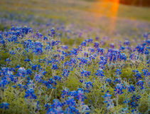 Wildflowers in Evening Sunlight. A field of Bluebonnet flowers and orange sunbeams from the late afternoon sunlight Royalty Free Stock Image