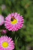 Wildflowers - Everlastings στοκ φωτογραφίες με δικαίωμα ελεύθερης χρήσης