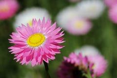 Wildflowers - Everlastings Fotografía de archivo