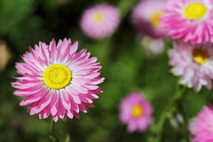 Wildflowers - Everlastings Stock Photography