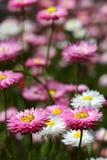 Wildflowers - Everlastings Foto de archivo libre de regalías